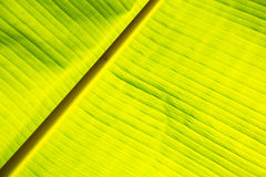 Texture of back light fresh green leaf background Stock Image