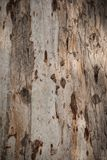 Eucalyptus bark texture Royalty Free Stock Photos