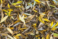 Texture for background autumn foliage of willow. Horozontal autumnal natural texture for background. Autumn foliage of willow. Yellow and brown leaves create Stock Image