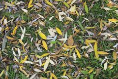 Texture for background autumn foliage of willow. Horozontal autumnal natural texture for background. Autumn foliage of willow. Yellow and brown leaves create a Stock Image
