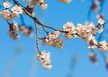 Texture, background, background, blossoming fruit trees, apricot royalty free stock images