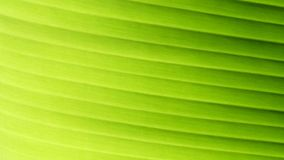 Texture background of backlight fresh green banana leaf. Beautiful colors of nature stock photography