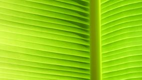 Texture background of backlight fresh green banana leaf.  stock photography