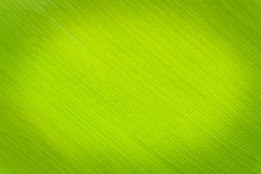Texture background of backlight fresh green Leaf. Royalty Free Stock Images