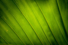 Texture background of backlight fresh green Leaf. Stock Photography