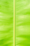 Texture background of  backlight green banana Leaf. Royalty Free Stock Photography