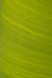 Texture background of backlit fresh green leaf Royalty Free Stock Image
