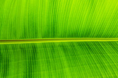 Texture background of backlit green leaf Stock Photography