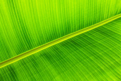 Texture background of backlit green leaf Royalty Free Stock Photos