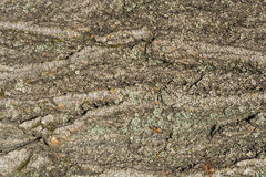 Texture, background of bark poplar Stock Photography
