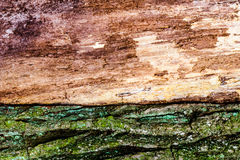 Texture, background. Bark of tree. Old poplar, outdoor, over wood, piece of trunks, stems and roots of woody plants. Stock Image