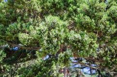 Natural background crown juniper close up stock image