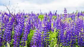 Texture background field of lupine blooming Stock Photography