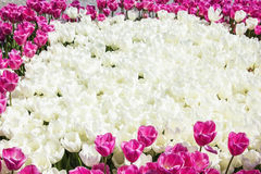 Texture background field of white and pink tulips Stock Photos