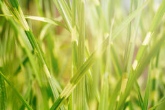 Texture background of fresh green bulrush leaves against sunlight on the background. Close up, soft focus Stock Images