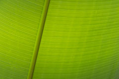 Texture background of fresh green Leaf. Texture background of fresh green Banana Leaf stock photo