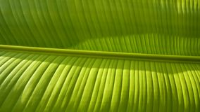 Texture Background of Fresh Light Green Banana Leaf with Lights and Shades on Surface. Closeup Texture Background of Fresh Light Green Banana Leaf with Lights royalty free stock photo