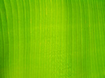 Texture background green Banana Leaf Royalty Free Stock Image