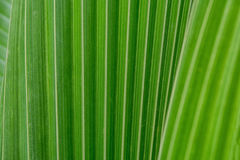 Texture background green coconut palm leaves Stock Photo