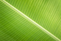 Texture background green Leaf banana Stock Photo