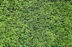 Texture, background of the green leaves of arborvitae. Stock Images