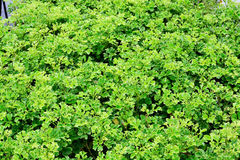 Texture Background of Green Leaves Royalty Free Stock Photos