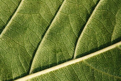 Texture, background of leaf Royalty Free Stock Images