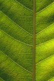 Texture, background of leaf Royalty Free Stock Photos