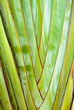 Texture background of the leaf stalk. Of the travelers palm tree Stock Photo