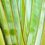 Texture background of the leaf stalk. Of the travelers palm tree Royalty Free Stock Photography