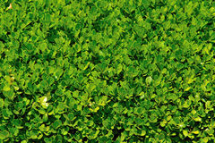 Texture or background of leaves. The picture describes a texture or background of green leaves, the bright light makes nice Stock Images