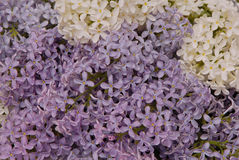 Texture background is made of lilac, blossoming Royalty Free Stock Photo