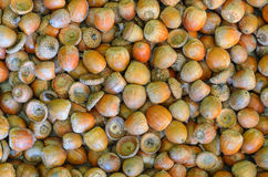 Texture, background made of multiple acorns Stock Image