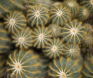 Green Spiny Cactus Background Royalty Free Stock Photography
