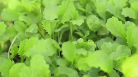Texture background of mustard cultivation of plants. Texture background mustard growing plants healthy food stock footage