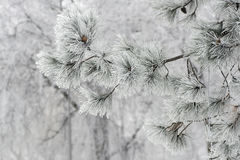Texture background of natural pine needles plants in frost. Branches of a coniferous tree pine covered with bright frost with cones Stock Image