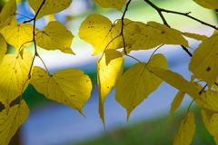 Texture, background, pattern. Autumn leaves of lindens are yellow on a tree. Photographed in counter light. linden, lime, fake, c. Ounterfeit, stumer, lime-tree royalty free stock photo