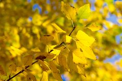 Texture, background, pattern. Autumn leaves of lindens are yellow on a tree. Photographed in counter light. linden, lime, fake, c. Ounterfeit, stumer, lime-tree royalty free stock images