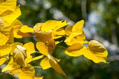 Texture, background, pattern. Autumn leaves of lindens are yellow on a tree. Photographed in counter light. linden, lime, fake, c. Ounterfeit, stumer, lime-tree royalty free stock photos