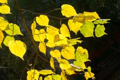 Texture, background, pattern. Autumn leaves of lindens are yellow on a tree. Photographed in counter light. linden, lime, fake, c. Ounterfeit, stumer, lime-tree royalty free stock image