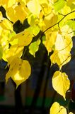 Texture, background, pattern. Autumn leaves of lindens are yellow on a tree. Photographed in counter light. linden, lime, fake, c. Ounterfeit, stumer, lime-tree stock images