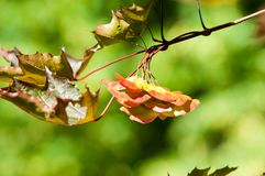 Texture, background, pattern. Leaves Seeds of a red maple branch. In the summer stock photo