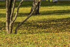 Yellow autumn leaves on a tree. Bright colors of autumn Stock Photos