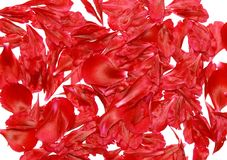 Texture background-  rose petal. Stock Images