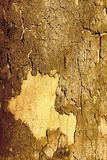 Texture background sycamore tree bark. Fall off Stock Photo