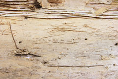 Texture Background of Tree Bark Royalty Free Stock Image