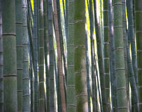 Texture of bamboo stems and branches close-up. Bamboo Grove Stock Photo