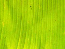 Texture of Banana green leaf Royalty Free Stock Photography