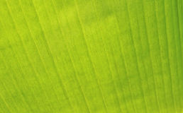 Texture of banana leaf Stock Photography