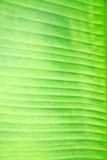 Texture of banana leaf. Background and Texture of banana leaf Royalty Free Stock Photo